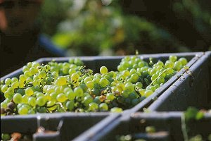 Wine from Mauzac Grapes